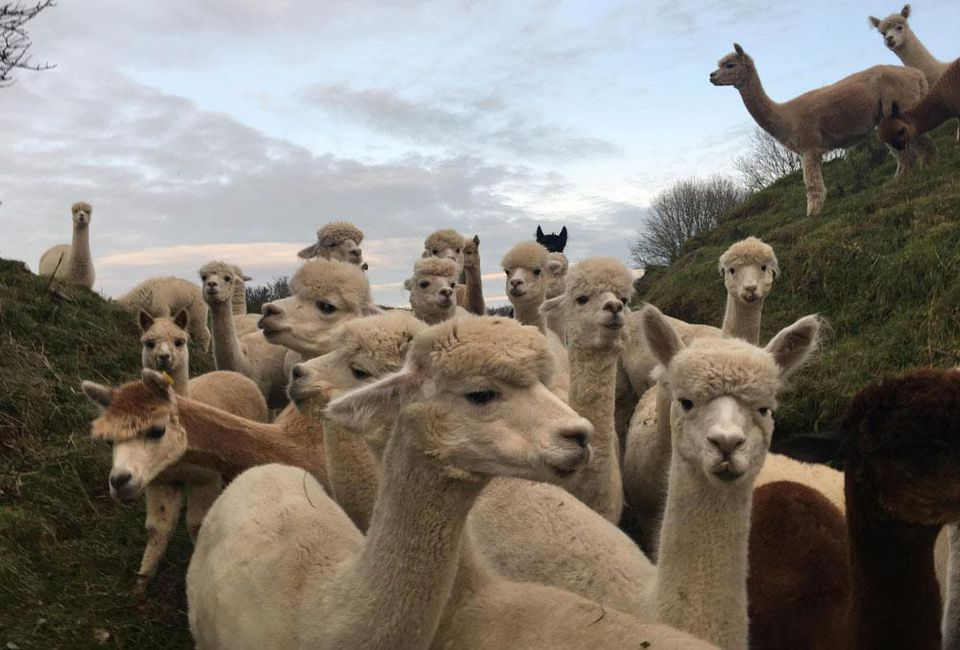 THE BRITISH ALPACA FARM, MARTINE JARLGAARD LONDON